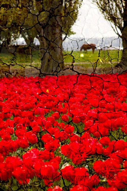 horse red tulips crackled