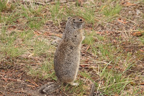 Uinta Squirrel Standing