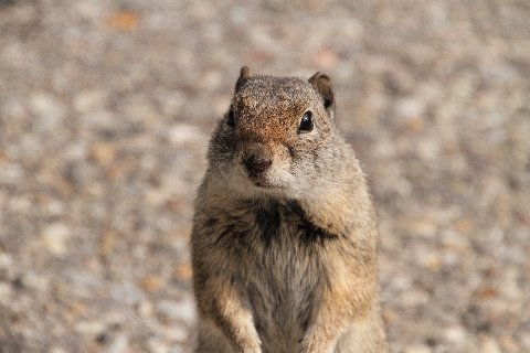 uinta Squirrel portrait