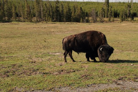 handsome bison